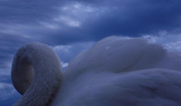 swan_of_tenderness_by_sirena_pirey-d5eoil2